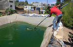 A Palestinian man catches fish at a fish farm in the West bank city of Nablus on October 18, 2018. Photo by Shadi Hatem