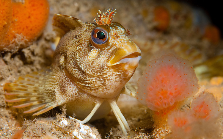 Tompot Blenny (Parablennius gattorugine) under Swanage pier, Dorset, United Kingdom