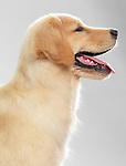 Profile portrait of a Golden Retriever 4 month old puppy isolated on white background