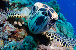 A hawksbill turtle, Eretmochelys imbricata, inspects the camera closely, Layang Layang, South China Sea atoll, Sabah Province, Borneo Island, Malaysia, Pacific Ocean