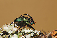 Rainbow Scarab (Phanaeus vindex), adult male, Sinton, Corpus Christi, Coastal Bend, Texas, USA