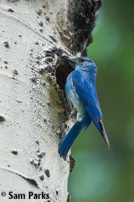 Male mountain bluebird at nest cavity. Grand Teton National Park, Wyoming.