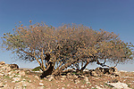 Samaria, Terebinth tree (Pistacia Palaestina) in Yanun