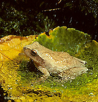 FR16-019z  Spring Peeper Tree Frog - sitting in puddle during falling spring rain-  Pseudacris crucifer, formerly Hyla crucifer