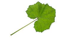Huflattich-Blatt, Huflattich, Tussilago farfara, Coltsfoot, Pas d´âne, Tussilage. Blatt, Blätter, leaf, leaves
