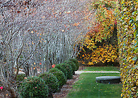 Lawn walkway between well pruned Hornbeam hedge (Carpinus), toward Tupelo tree fall foliage (Nyssa), with row (allée) of Katsura bare trees (Cercidyphyllum), and 'Green Beauty' boxwood bushes at Digging Dog Nursery