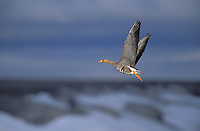 White-Fronted Goose in flight. Summer. Arctic National Wildlife Refuge, Alaska. U.S.A. (Anser albifrons).