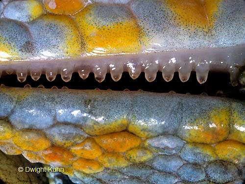 GK08-002a Tokay Gecko - Note sharp teeth - Gekko gecko.