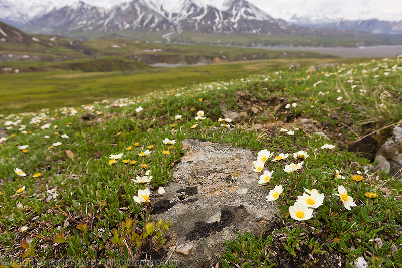 Carpet of wildflowers (Mountain Aven) on the tundra, Denali National Park, Interior, Alaska.