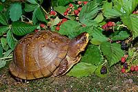 Box turtle with fresh blackberries, Missouri