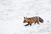 Cross fox hunts on the wintry, snow covered tundra of Alaska's arctic north slope.