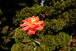 Israel, a rose at Wohl Rose Park of Jerusalem