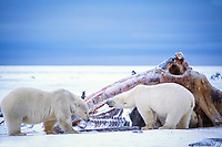 polar bear, Ursus maritimus, mother with cubs scavenging on whale carcass on the pack ice of the frozen coastal plain, 1002 area of the Arctic National Wildlife Refuge, Alaska, polar bear, Ursus maritimus