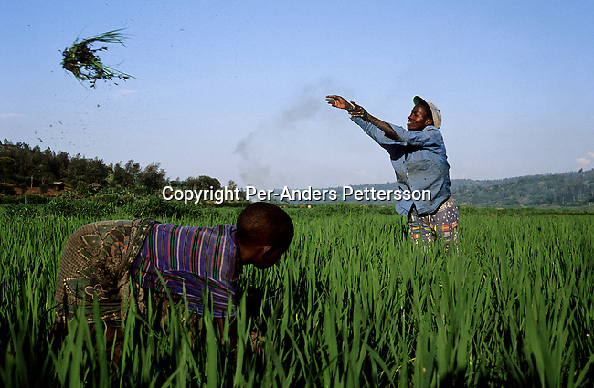A farmer working with his daughter in their rice fields on February 16, 2003 close to Nkomano Bridge, in Ntyazo, a rural area outside Butare, Rwanda. About one hundred people were killed and dumped in the water close to the bridge during the Genocide in 1994.  About 800.000 mainly Tutsis and moderate Hutus were killed in about one hundred days in 1994 and about 100.000 prisoners accused of the genocide are still in prisons nine years later awaiting trials. (Photo by: Per-Anders Pettersson).