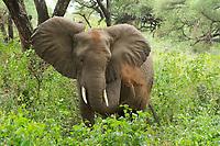 An African Elephant, Loxodonta africana, gives itself a dirt bath in Lake Manyara National Park, Tanzania