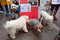 "New York, NY -  11 February 2012 Dogs dressed as Under Dog, accompanied by their guardians ,march from the Mercer Houston Dog Run to Judson Memorial Church, calling for .""Paws Off"" in support of a rally to stop NYU's 2031 plan expansion."