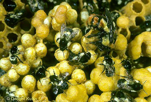 BU15-001z  Bumblebee - Costa Rican colony - Bombus ephippiatus