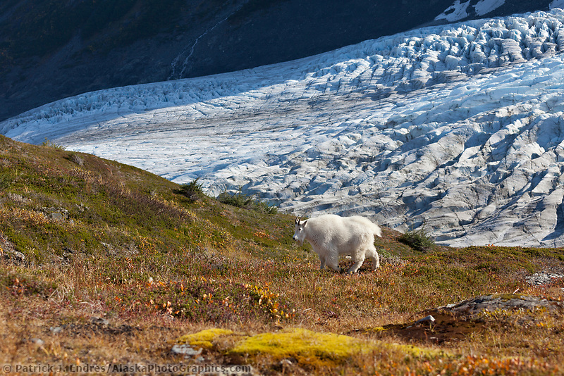 Mountain goat, Exit glacier, Kenai Fjords National Park, Kenai mountains, Kenai Peninsula, southcentral, Alaska.