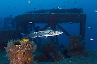 TP0439-D. Great Barracuda (Sphyraena barracuda), one of the top predators on the reef, can grown to nearly 6 feet long but more commonly 3. Here one is hovering overtop the Aeolus shipwreck, now a thriving artificial reef. North Carolina, USA, Atlantic Ocean.<br /> Photo Copyright &copy; Brandon Cole. All rights reserved worldwide.  www.brandoncole.com