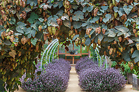 Trellis arch with hops at Sunset Gardens, Cornerstone, Sonoma California
