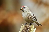 Common redpoll (Acanthis flammea) on a tree stump, North Rhine-Westphalia, Germany, Europe