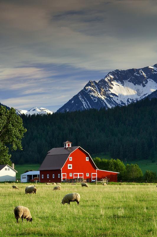 Sheep in pasture with barn and Wallowa Mountains. Near Joseph. Oregon