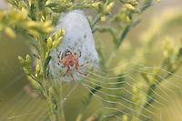 Lattice Orb Weaver; Araneus thaddeus; web and retreat with spider inside; PA, Philadelphia; Morris Arboretum