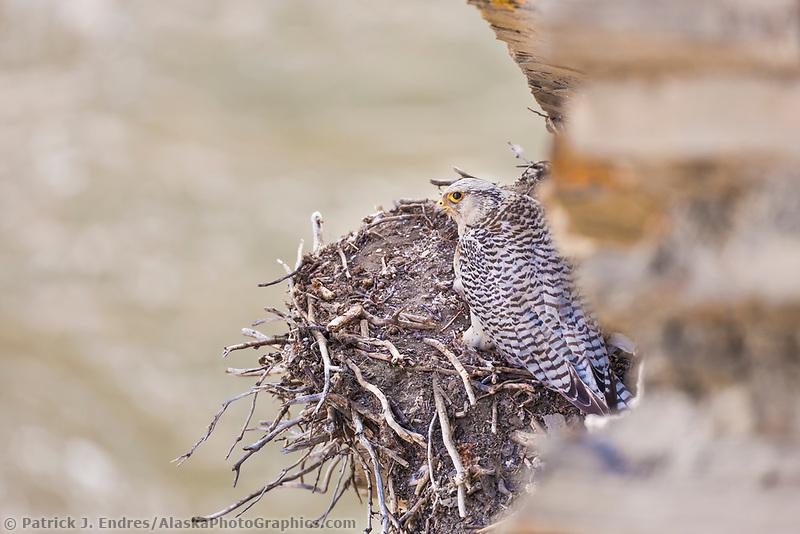 Gyr falcon in white phase, on nest along a cliff of the Etivluk river, National Petroleum Reserve, Alaska.