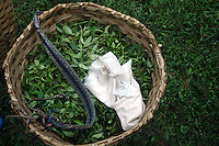INDIA (West Bengal - Darjeeling) June 2007,A bucket full of exotic Makaibari Darjeeling tea. Makaibari produces the most expensive tea in the world. They produce the tea organically (without using any fertilizers or spraying pesticides)through permaculture.  Makaibari is situated at the misty foot hills of Darjeeling Himalayas - Arindam Mukherjee
