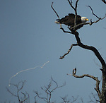 BALD EAGLE/at Saugerties Lighthouse