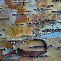 Birch Bark Detail, Nautlius Island, Castine, Maine, US
