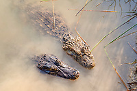 spectacled caiman, white caiman, or common caiman, Caiman crocodilus, and broad-snouted caiman, Caiman latirostris, Rio Baia Bonita, Bonito, Mato Grosso do Sul, Brazil