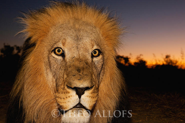 Botswana, Kalahari, private game reserve, male lion at dusk, captive