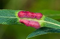 Weidengallenblattwespe, Weidengallen-Blattwespe, Weidenblattwespe, Weiden-Blattwespe, Galle an Purpurweide, Salix purpurea, Pontania virilis