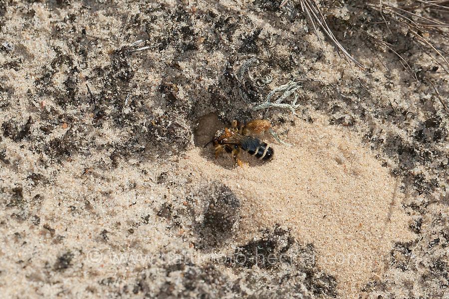 Hosenbiene, Raufüßige Hosenbiene, Braunbrüstige Hosenbiene, Dunkelfransige Hosenbiene, Rauhfüßige Bürstenbiene, Weibchen gräbt im Sandboden, Dasypoda hirtipes, syn. Dasypoda plumipes, syn. Dasypoda altercator, hairy-legged bee
