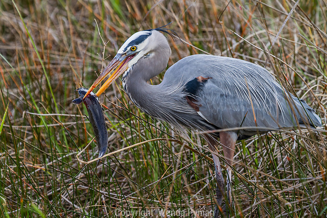 A Great Blue Heron spears a fish, slowly walking away from his companions with his catch.