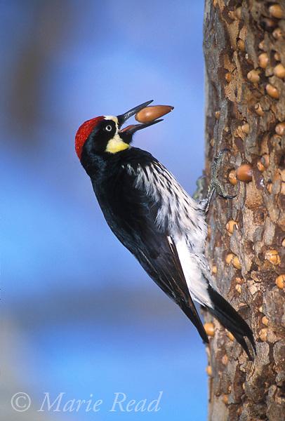 Acorn Woodpecker (Melanerpes formicivorus) male brings an acorn to its granary tree, Orange County, California, USA. <br /> Slide # B96-901