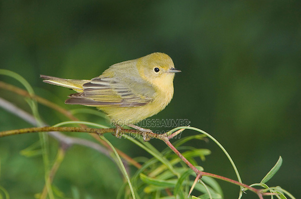 Yellow Warbler, Dendroica petechia, female, South Padre Island, Texas, USA, May 2005