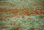 Color in the fields in Jutland, Denmark