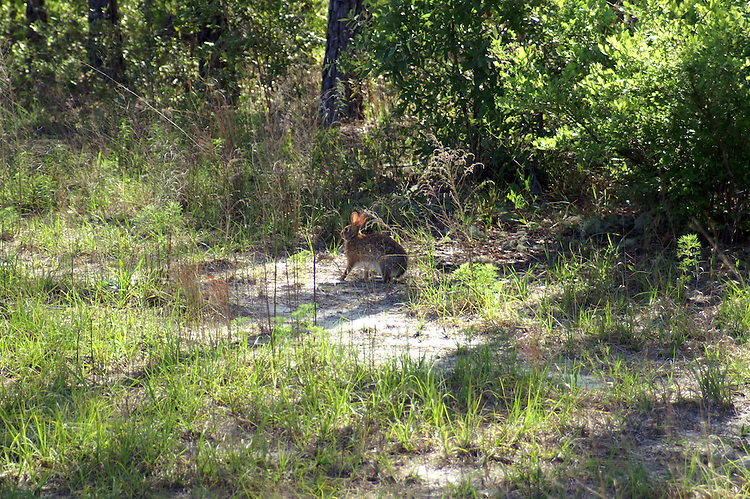 A conttontail rabbit about to flee.