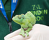 ZSL London Zoo Annual Count<br /> 4th January 2016 <br /> London Zoo, Regent's Park, London, Great Britain <br /> <br /> Jackson's Chameleon <br /> with Luke <br /> <br /> <br /> <br /> Photograph by Elliott Franks <br /> Image licensed to Elliott Franks Photography Services