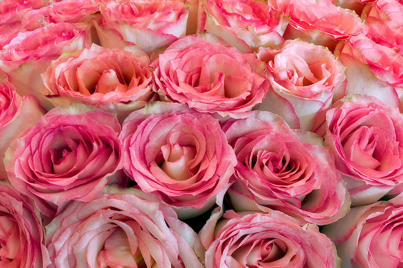 Close up of roses.