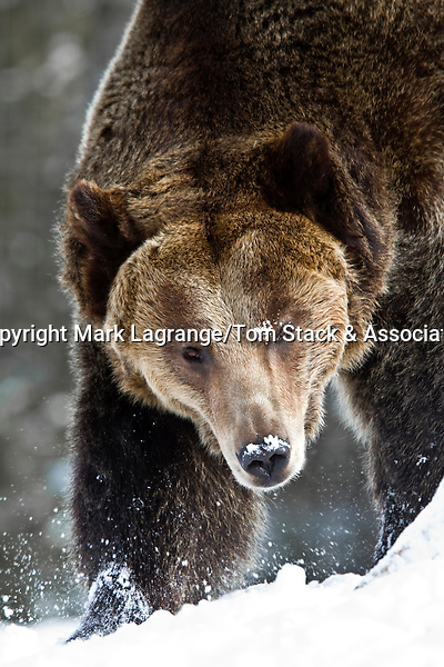 Grizzly bear, Montana