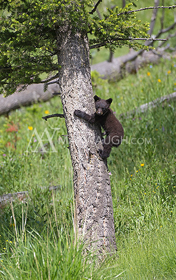 A black bear sow with a single cub was seen frequently near Petrified Tree and Elk Creek during the spring.