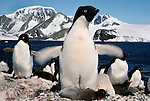 Adelie penguin waves wings over chicks, Antarctica