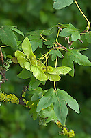 Feld-Ahorn, Feldahorn, Ahorn, Acer campestre, Field Maple, Hedge Maple, Erable champêtre