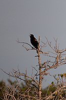Red-winged Blackbird (Agelaius phoeniceus),  Merritt Island National Wildlife Refuge, Titusville, Florida, US
