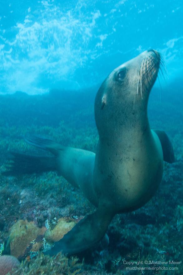Sea of Cortez, Baja California, Mexico; a California Sea Lion (Zalophus californianus) sitting on the sea floor, underwater