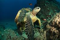 Green sea turtle mating,Maui Hawaii.