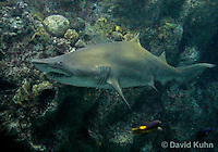 0128-08uu  Sand Tiger Shark, Carcharias taurus © David Kuhn/Dwight Kuhn Photography